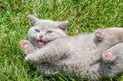 элитных британских котят