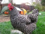 суточные цыплята мясояичного направления