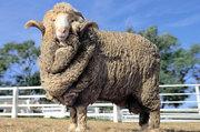 Овцы живым весом. Опт