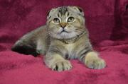 Продаётся шотландский вислоухий котик от питомника