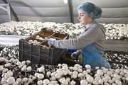 Польская компания приглашает на работу женщин на сбор грибов