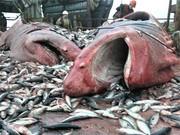 рисовая мука при производстве продуктов из рыбы