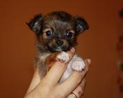 Чихуахуа  великолепные щенки.
