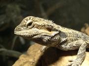 Синалойские молочные змеи,  бородатые агамы,  пауки-птицееды,  другое